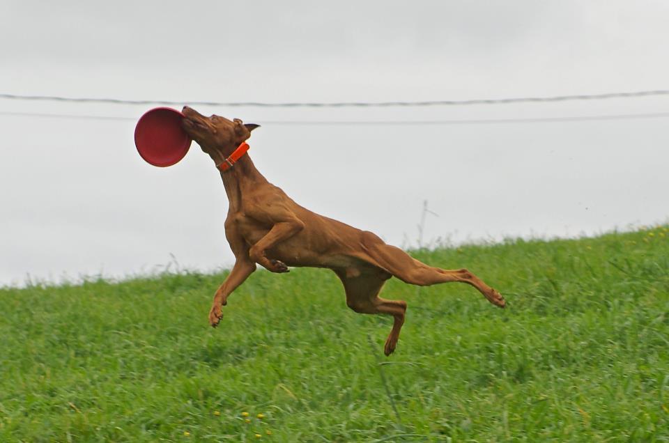 Vizsla Dog Show